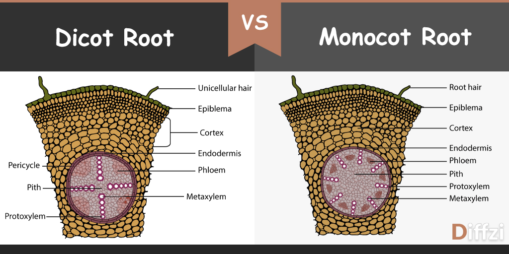 What is the difference between monocot and dicot roots?
