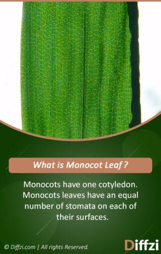 Monocot Leaf