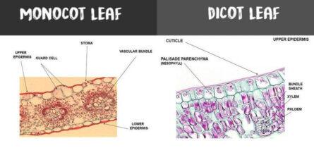 monocot leaf vs dicot leaf e1549054360418