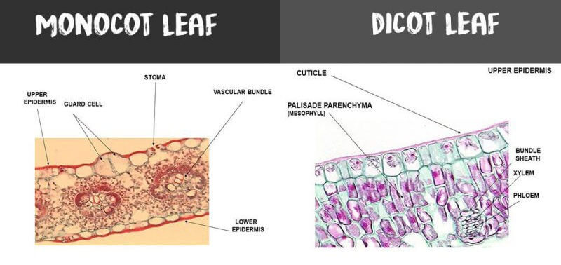 monocot leaf vs dicot leaf e1549054360418