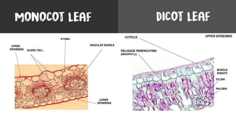 Monocot Leaf Vs Dicot Leaf Whats The Difference Diffzi