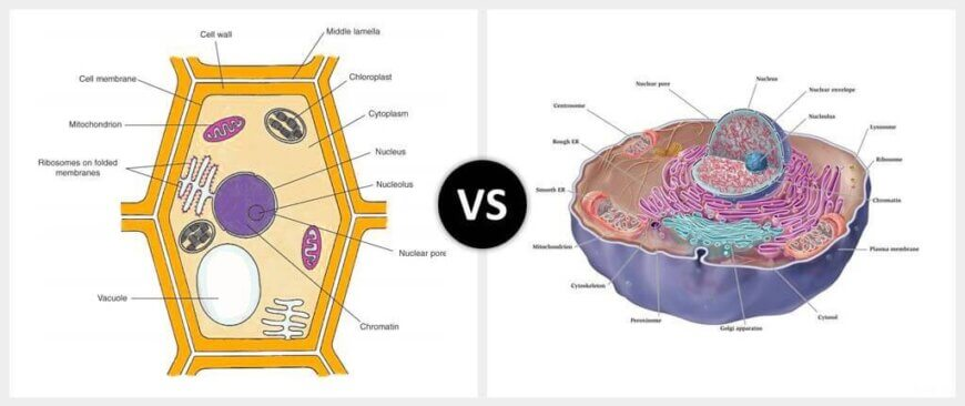 Cell Wall vs. Cell Membrane