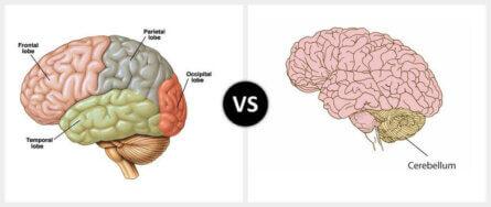 Cerebrum vs. Cerebellum