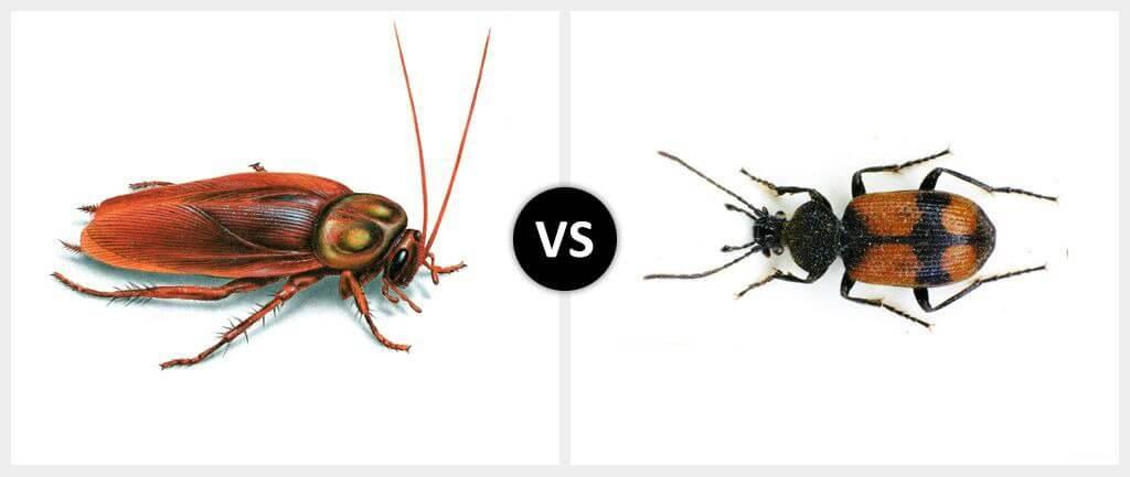 Cockroach vs. Beetle