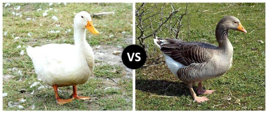 Ducks vs. Goose
