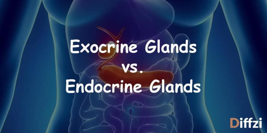 Exocrine Glands vs. Endocrine Glands