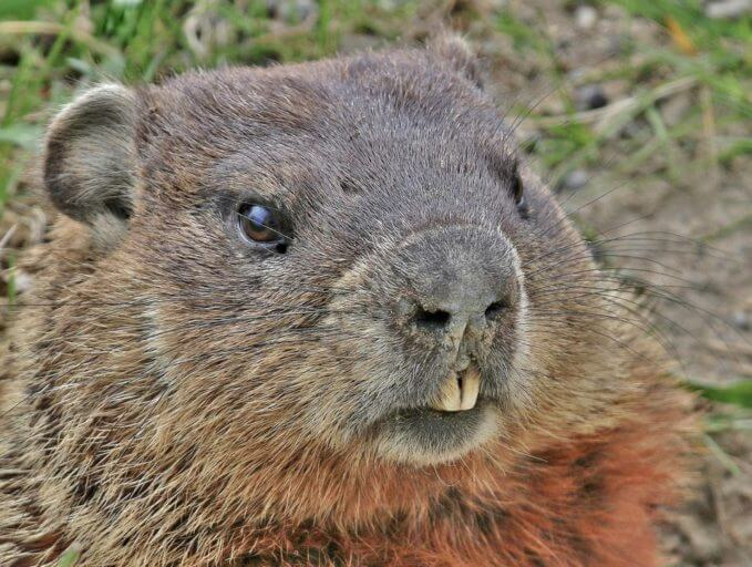 Groundhog vs. Gopher 1