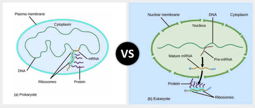 Prokaryotic Protein Synthesis vs. Eukaryotic Protein Synthesis