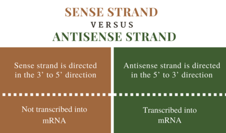 Sense vs. Antisense Strand of DNA