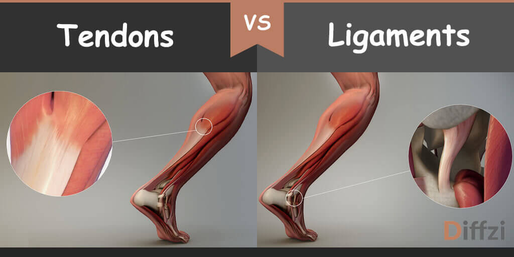 tendons vs ligaments