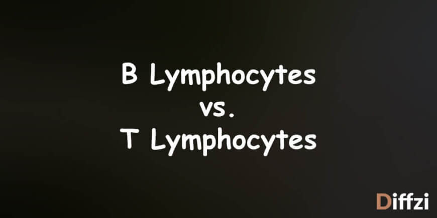 B Lymphocytes vs. T Lymphocytes