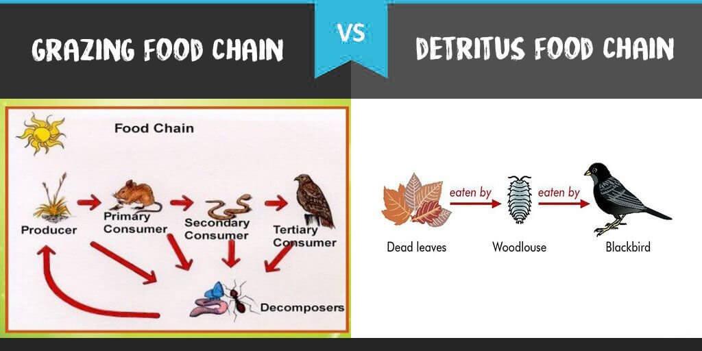 Grazing Food Chain vs