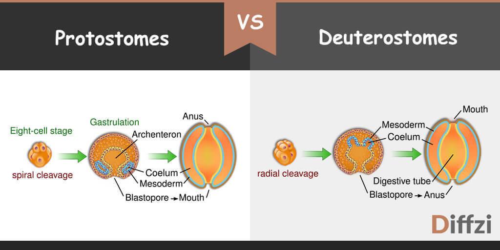 Protostomes vs Deuterostomes