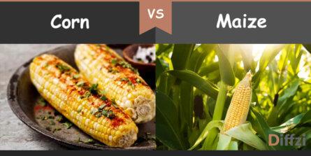 corn vs maize