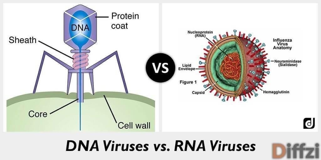 DNA Viruses vs. RNA Viruses