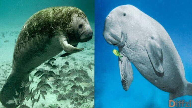 Dugongs vs. Manatees