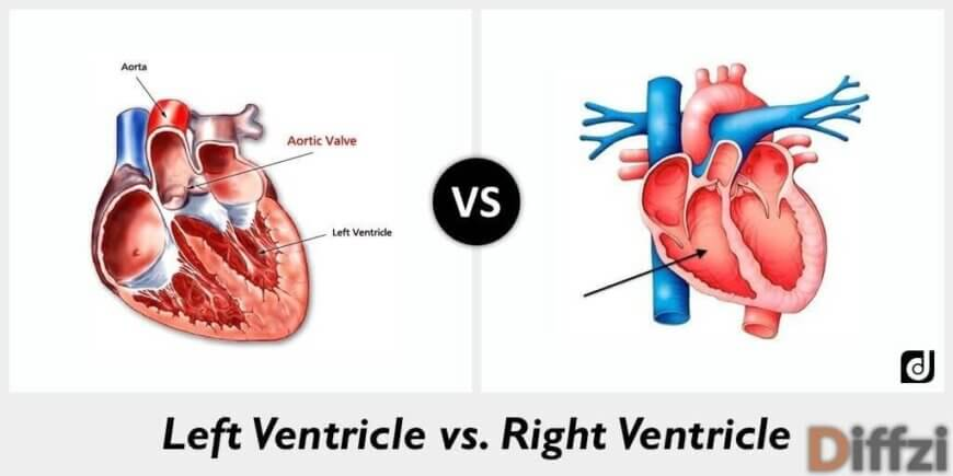 Left Ventricle vs. Right Ventricle