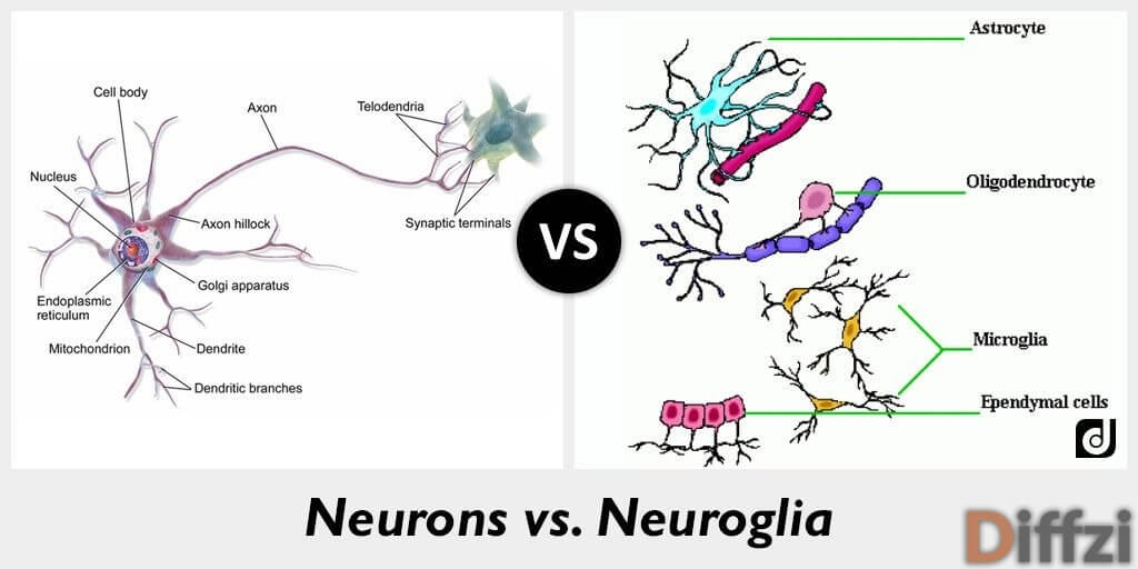 Neurons vs. Neuroglia