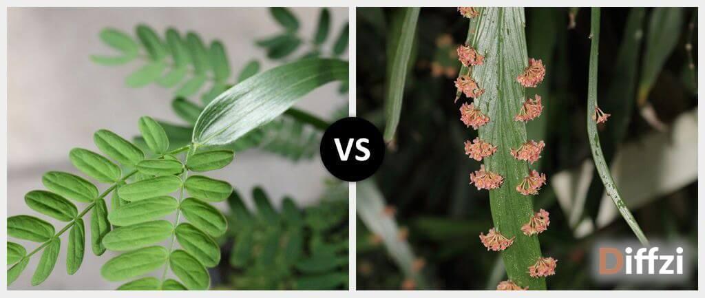 Phyllode vs. Phylloclade