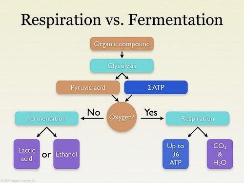 Respiration vs. Fermentation
