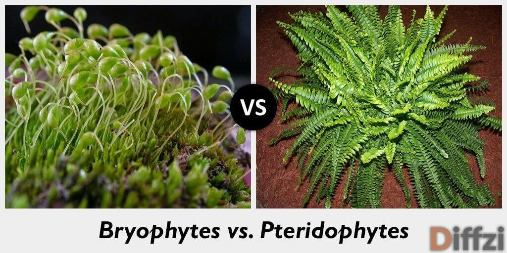 bryophytes vs pteridophytes