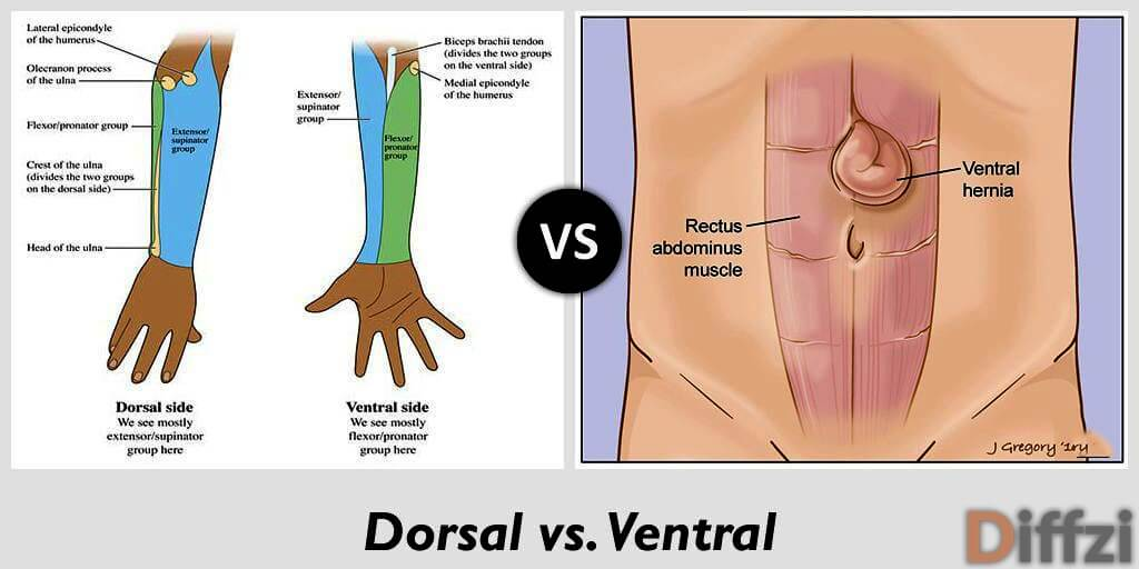 dorsal vs ventral