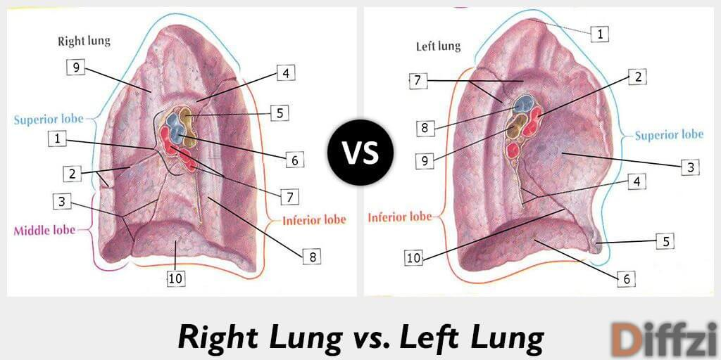 right lung vs left lung