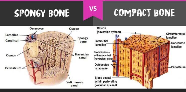 spongy bone vs compact bone