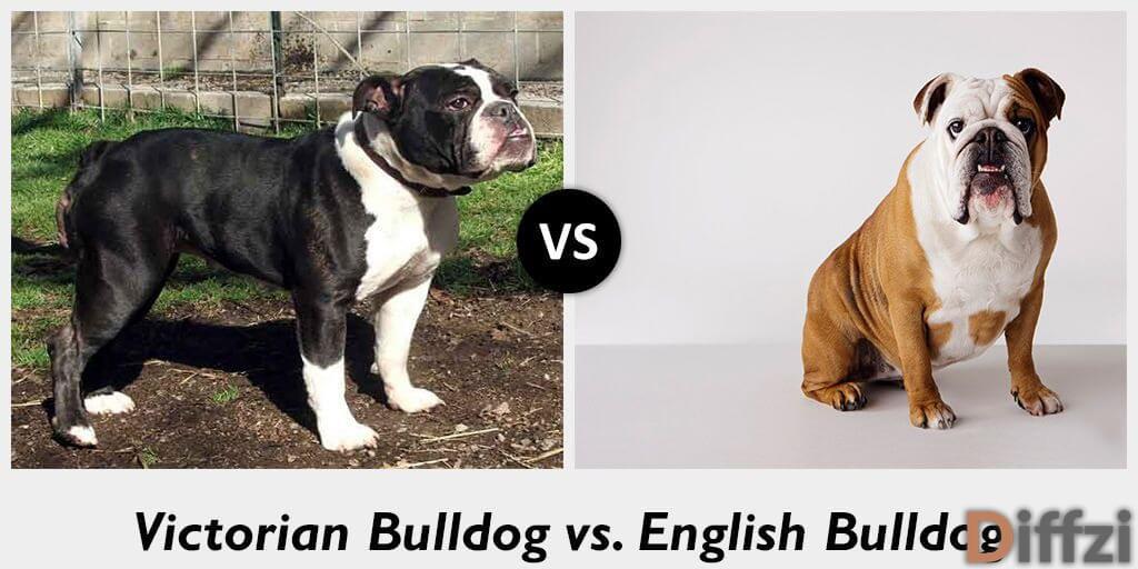 victorian bulldog vs english bulldog