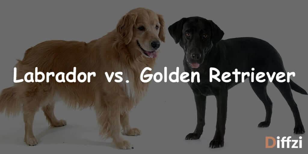 Labrador vs. Golden Retriever