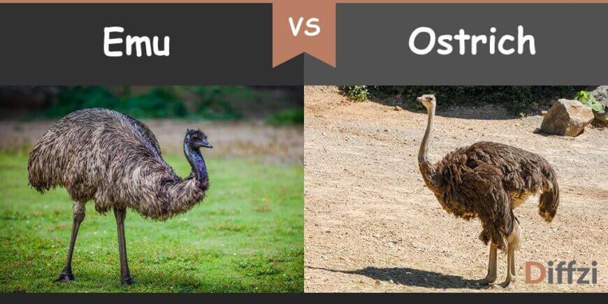 emu vs ostrich