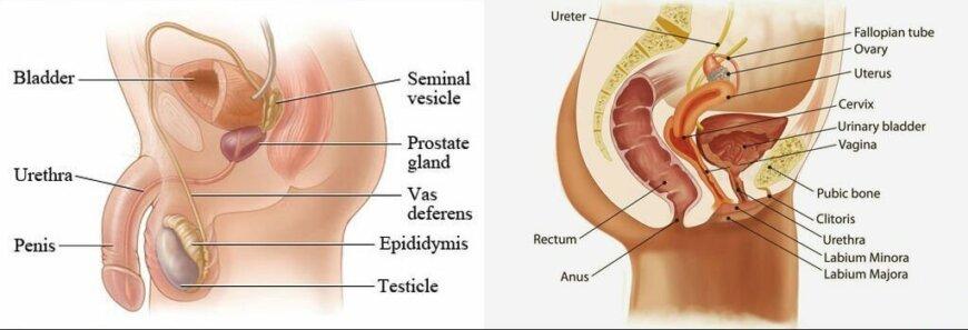 male urethra vs female urethra