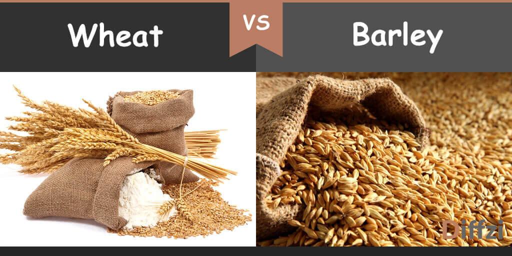 wheat vs barley