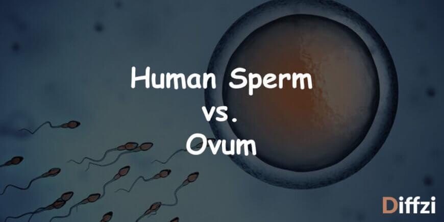 Human Sperm vs. Ovum