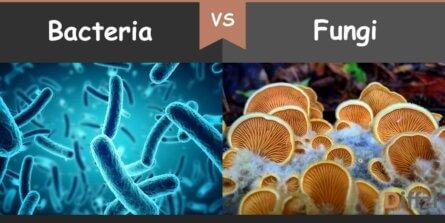 bacteria vs fungi