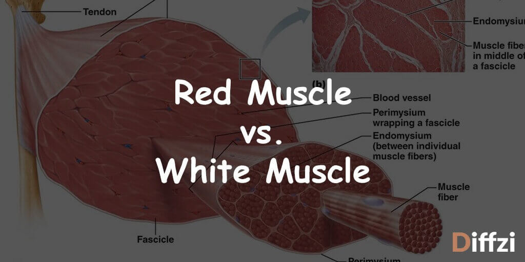 Red Muscle vs. White Muscle