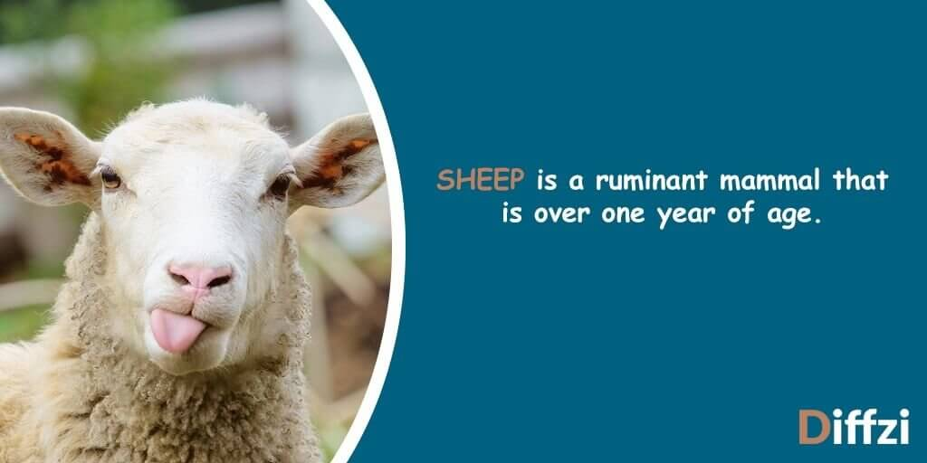 What is a Sheep?