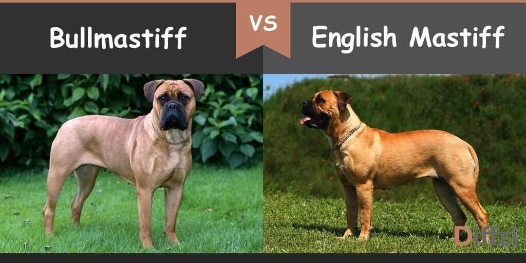 bullmastiff vs english mastiff
