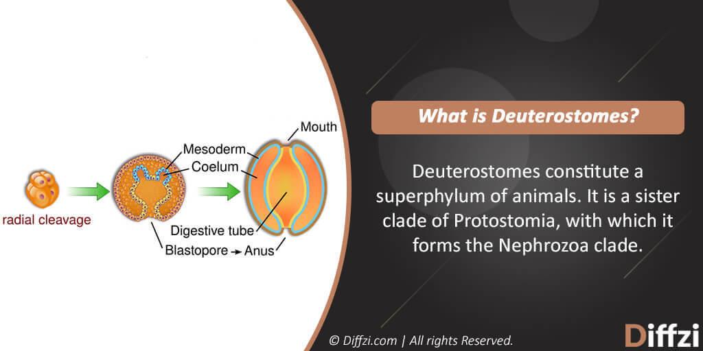 Deuterostomes