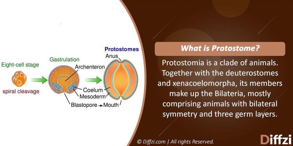 Protostomes