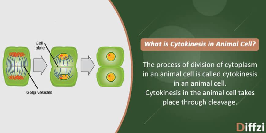 Cytokinesis in Animal Cell