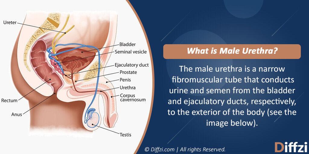 Male Urethra