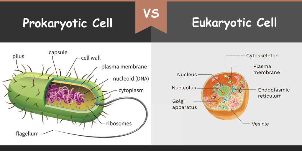 Prokaryotic Cells Vs  Eukaryotic Cells  What Is The
